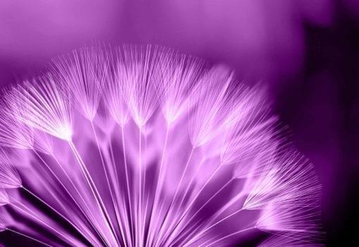 Fototapet med motivet: maskros blomma