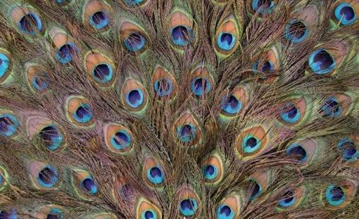 Fototapet med motivet: påfågelfjädrar